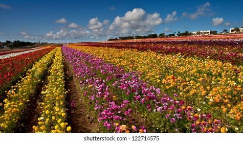 CARLSBAD FLOWER FIELDS 4