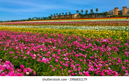 CARLSBAD,CA,USA - APRIL 10,2014:Rows of colorful flowers grow in Carlsbad, California,United States of America.