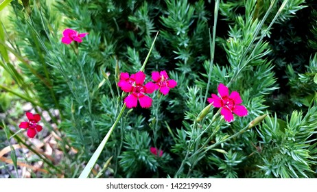 Carnation flower. Close-up blooming carnation glory pink flower Dianthus caryophyllus, carnation clove pink, species of Dianthus deltoides - ground cover carnation plant for alpine hills in garden. Ca