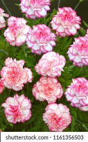 Carnation flower Latin name Dianthus caryophyllus Komanchi