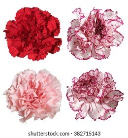Carnation flower on a white background. Isolated