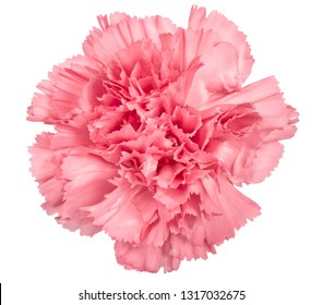 Carnation flower pink isolated on white background