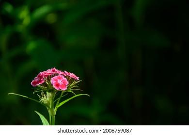 carnation flowers on dark green background