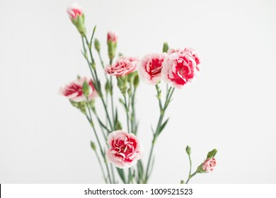 Carnation flowers on white background