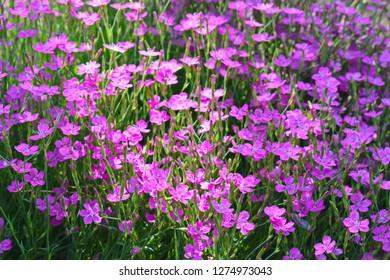 Carnation glory pink purple flower background pattern (Dianthus caryophyllus) carnation clove purple, species of Dianthus deltoides - ground cover carnation plant for alpine hills in garden background