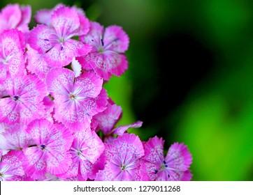 Carnation glory pink purple flower background pattern. Carnation clove purple, species of Dianthus deltoides - ground cover pink carnation plant in garden blurred background. Purple pink flowers card