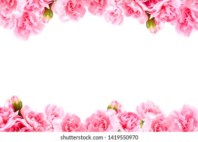 Carnation pink is blooming on a white background, copy space