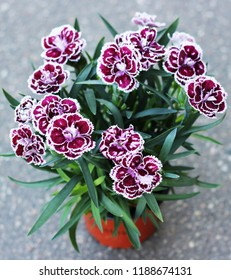 carnation in a pot