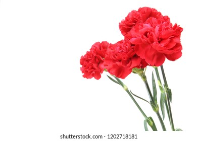 carnation in a white background