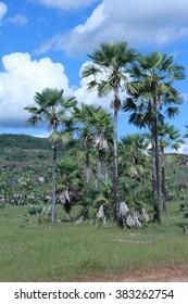 Carnauba Palm