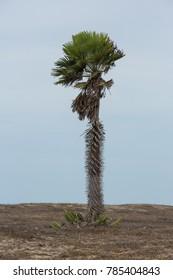 Carnauba Palm in Piaui