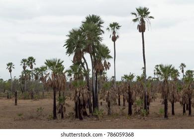 Carnauba Palm in Piaui Brazil
