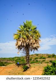 Carnauba palm tree (Copernicia prunifera) in the dry caatinga biome, vultures flying above - Oeiras, Brazil