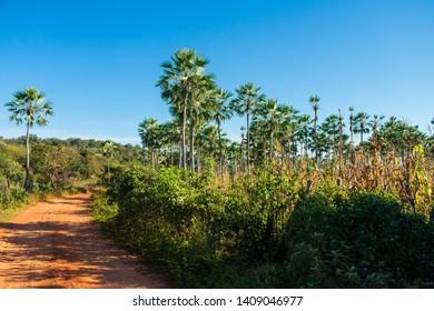 Carnauba palm trees (Copernicia prunifera) against blue sky in Oeiras, Piaui state - Brazil