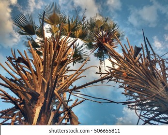 carnauba trees pointing to the heavens