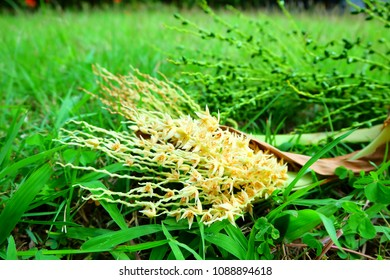 Carnauba Wax Palm