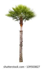 Carnauba Wax Palm tree isolated on white