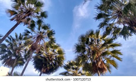 Carnaubal over sky as background