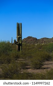 Carnegjea gigantea, also called Saguaro is an arborescent (tree-like) cactus species which may grow over 40 feet high seen here in Sonoran Desert, Arizona, USA.