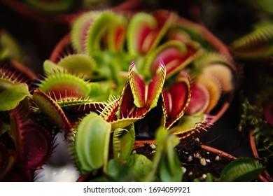 Carnivorous Dionaea Msucipula flower.Exotic Venus Flytrap flowers in close up.Dangerous fly trap catcher in pot