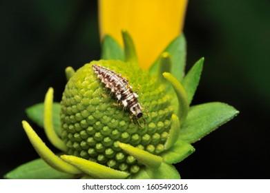 Carnivorous larva of lacewing flies