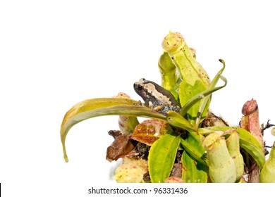 Carnivorous plant - Asian pitcher plant