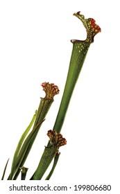 Carnivorous plant (Sarracenia)
