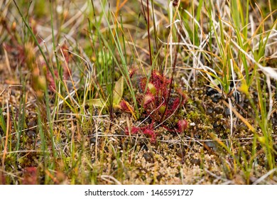 Carnivorous Plant Sundew at Liard River Hot Springs in Canada