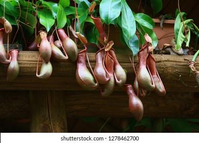 carnivorous plants in a garden