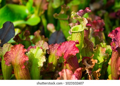 Carnivorous Sarracenia pitcher plants, commonly called trumpet pitchers