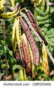 Carob beans growing on a bush