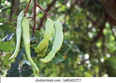 Carob Pods (Ceratonia Siliqua) growing on the tree