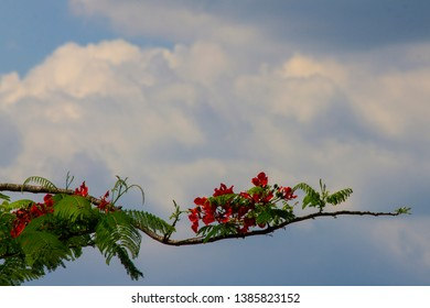 Carob tree blooming with clear red blossom. This Johannesbroodboom Judastree in its natural habitat surrounding the river nile shows the beauty of creation in the pearl of Africa. Trees of Uganda