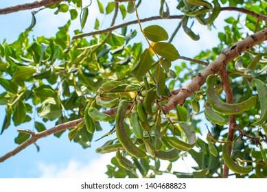 Carob tree with bunch of carob beans