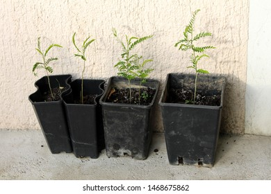 Carob tree or Ceratonia siliqua or Saint Johns bread or Locust bean or Locust tree or Carob bush flowering evergreen trees planted in plastic flower pots of various sizes in front of family house wall