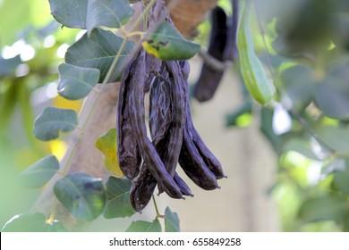 Carob tree in Cyprus