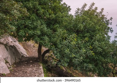 Carob tree or St John's-bread