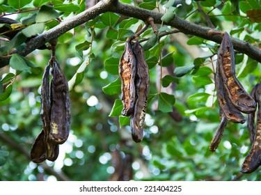 Carob tree, St John's-bread, Ceratonia siliqua