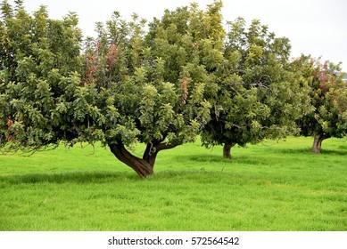carob trees in green field in Cyprus