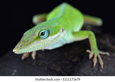 The Carolina anole (Anolis carolinensis) is an arboreal anole lizard native to the southeastern United States (west to Texas) and introduced elsewhere.