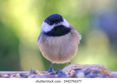 carolina chickadee close up portraits at the feeder with blurred background