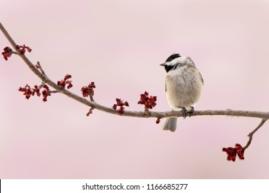 Carolina Chickadee on a Branch of Spring Flowers Against a Pink Background
