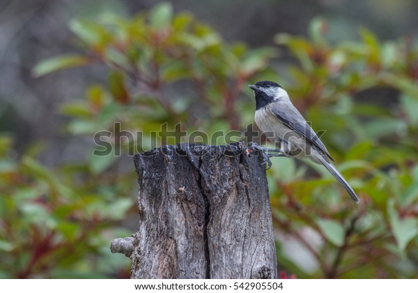 Carolina Chickadee on dead tree looking for bugs and seeds.