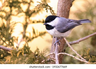 Carolina Chickadee Perched on a Tree in Spring