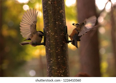 Carolina Chickadee (Poecile carolinensis) and a Red-Breasted Nuthatch (Sitta canadensis) at a bird feeder, both with their wings spread out