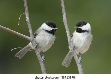 Carolina Chickadees Side by Side