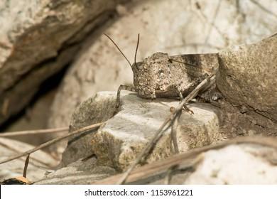 Carolina Grasshopper at rest on a rock. Todmorden Mills Park, Toronto, Ontario, Canada.