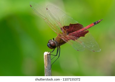 Carolina Saddlebags Dragonfly perched on a dead reed. Rouge National Urban Park, Toronto, Ontario, Canada.