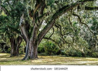 Carolina Spring. Live oak tree with Spanish moss set with a lush Atlantic coastal habitat in the background.