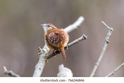 Carolina Wren perched in a boreal forest Quebec Canada in late autumn.